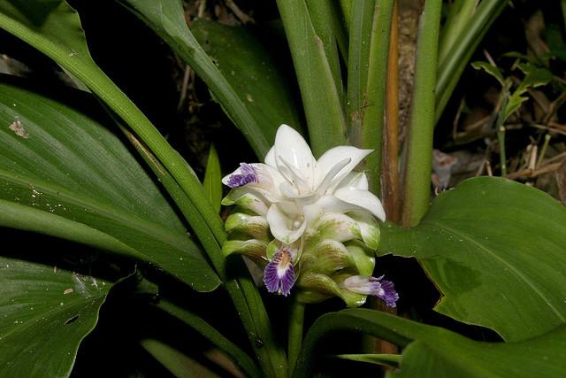 Curcuma parviflora