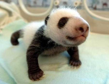 cucciolo panda