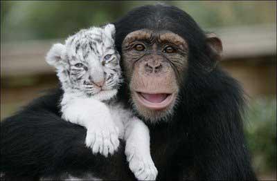 cucciolo tigre bianca scimmia
