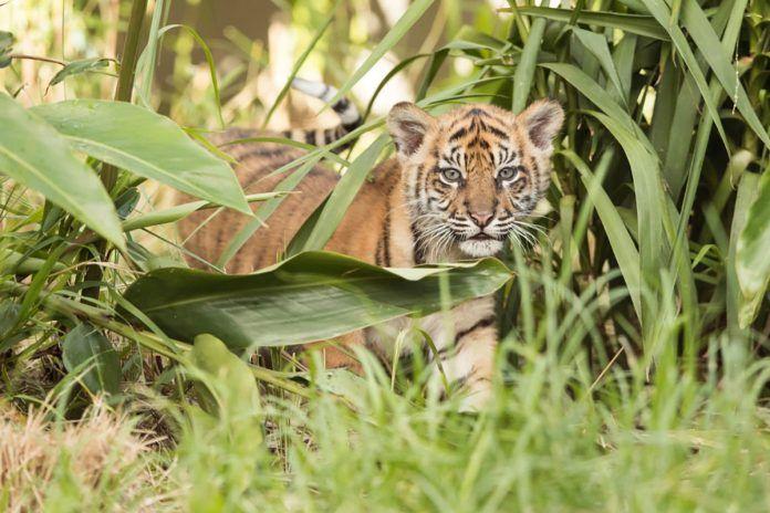 Tigre in estinzione