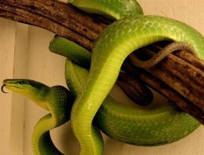 animali esotici serpente