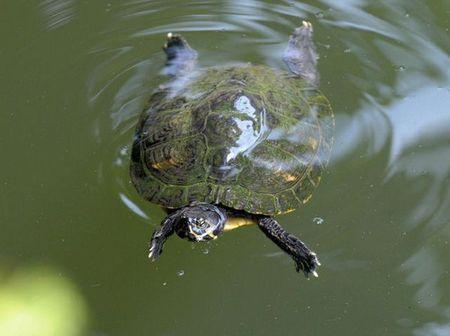 animali tartarughe acqua dolce estinzione
