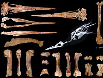 fossile pinguino gigante