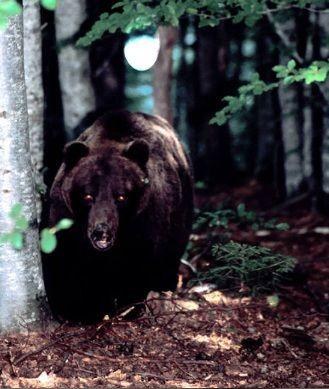 animali parco naturale orsi ballerini