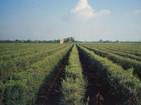 biologico puglia olivicoltura