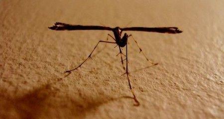 ogm zanzare transgeniche