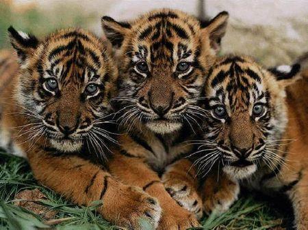 tutela animali wwf leonardo di caprio tigri