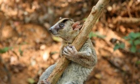 animali lemure