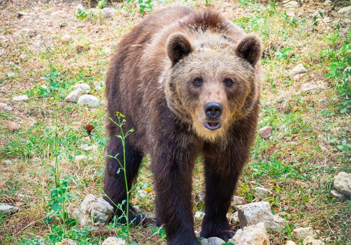 Parco nazionale della Majella, orso marsicano