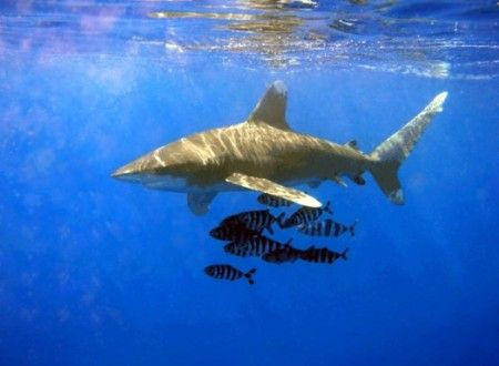 attacco squalo sharm