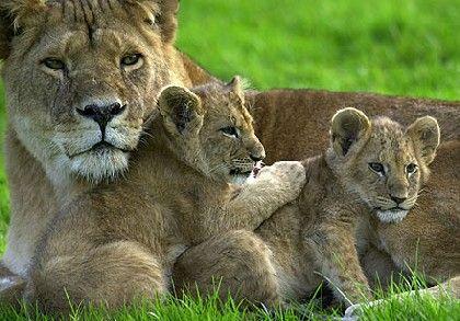 animali leone indiano