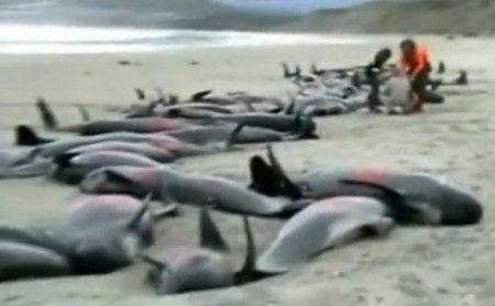 balene spiaggiate nuova zelanda