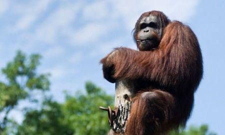 deforestazione orangutan estinzione