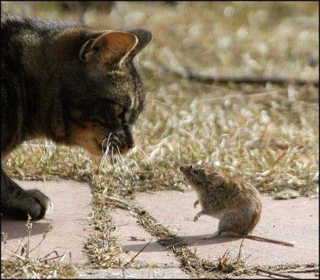 gatto topi