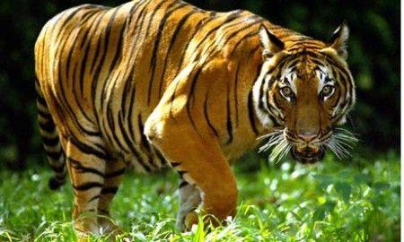 tigre malesia