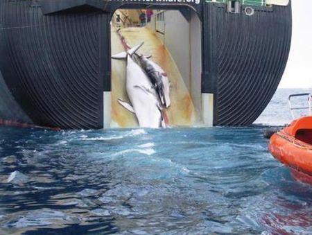 tutela animali caccia balene giappone