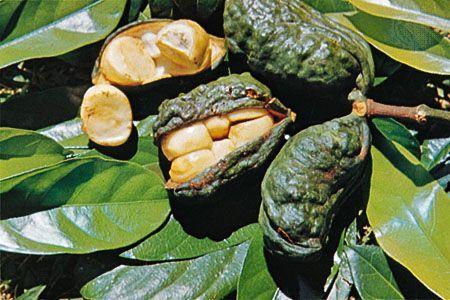 afrodisiaci green ginseng zafferano