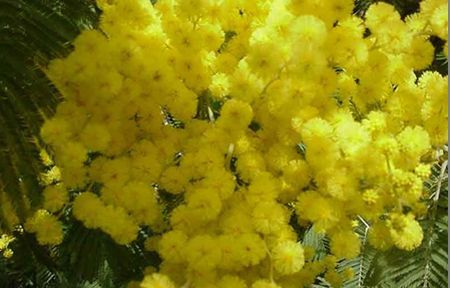 festa della donna mimose made in italy ambiente