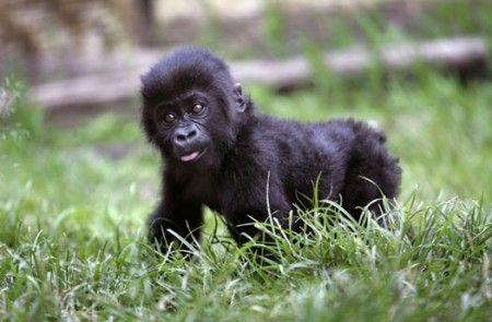 gorilla virus