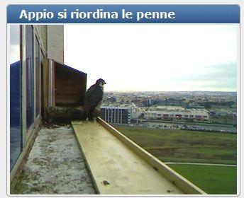 birdcam falchi
