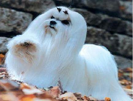 cane maltese geremia