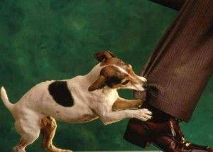 cane stacca orecchio