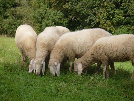 impatto ambientale varese pecore tagliaerba