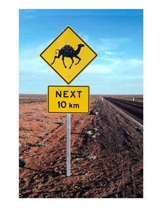 cammelli australia in pericolo