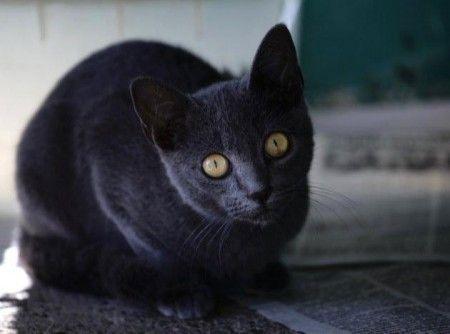 gatto azul cubano