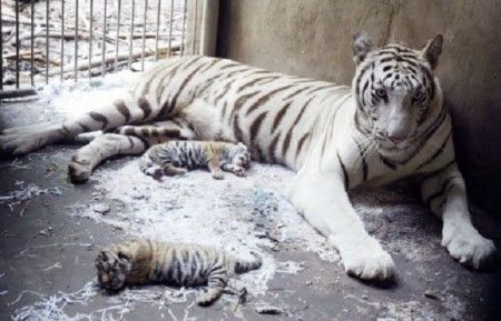 tigre reale bengala