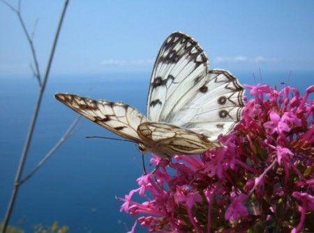 animali rari farfalle via estinzione