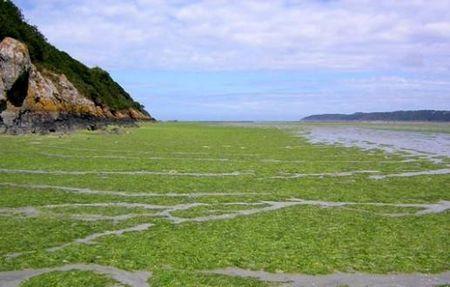 protezione animali cinghiali bretagna alghe killer