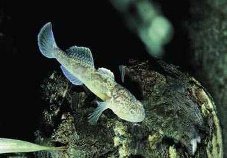 animali strani pesci ermafroditi inquinamento