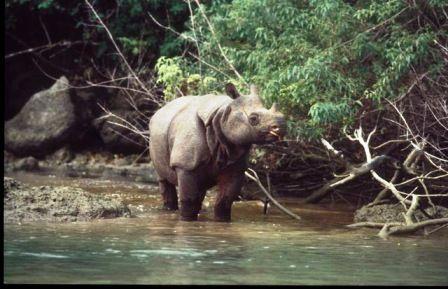 animali_estinzione_rinoceronte_parco_nazionale_indonesia