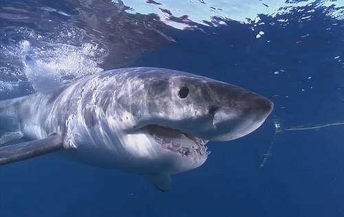 animali_marini_squali_oceano_pacifico