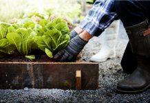 Uomo pianta ortaggio in un orto