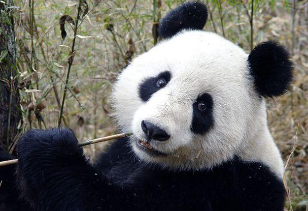animali in via di estinzione panda