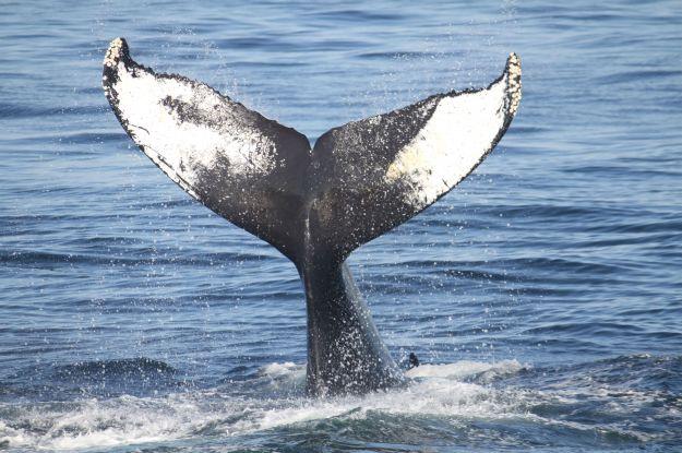 protezione_animali_marini_balene