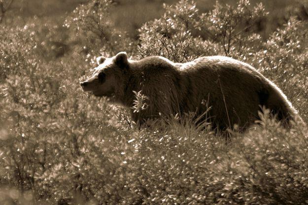 sarah_paulin_caccia_animali_orsi_grizzly