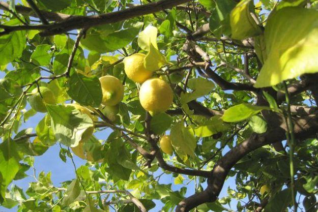 coltivare limoni casa vaso