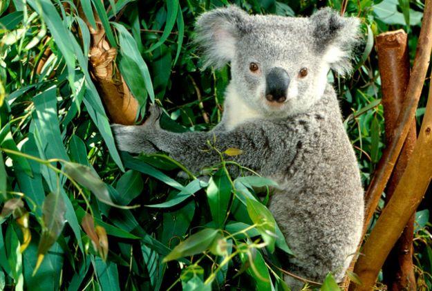 strage koala animali australia