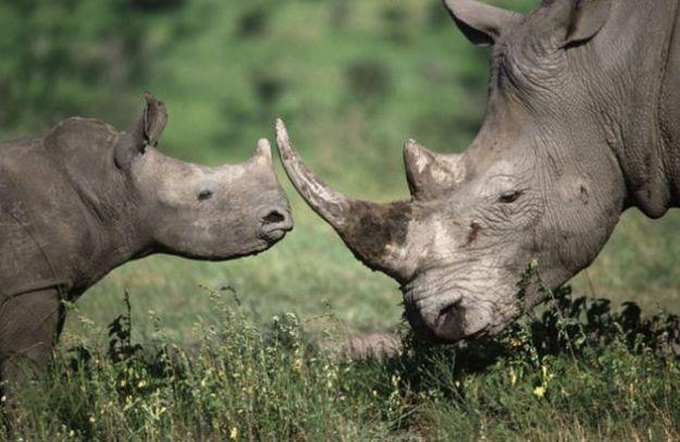 animali rischio estinzione rinoceronti