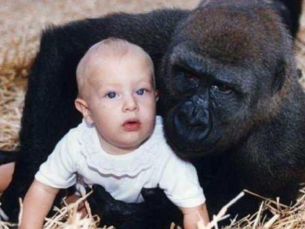 bambina gioca con i gorilla