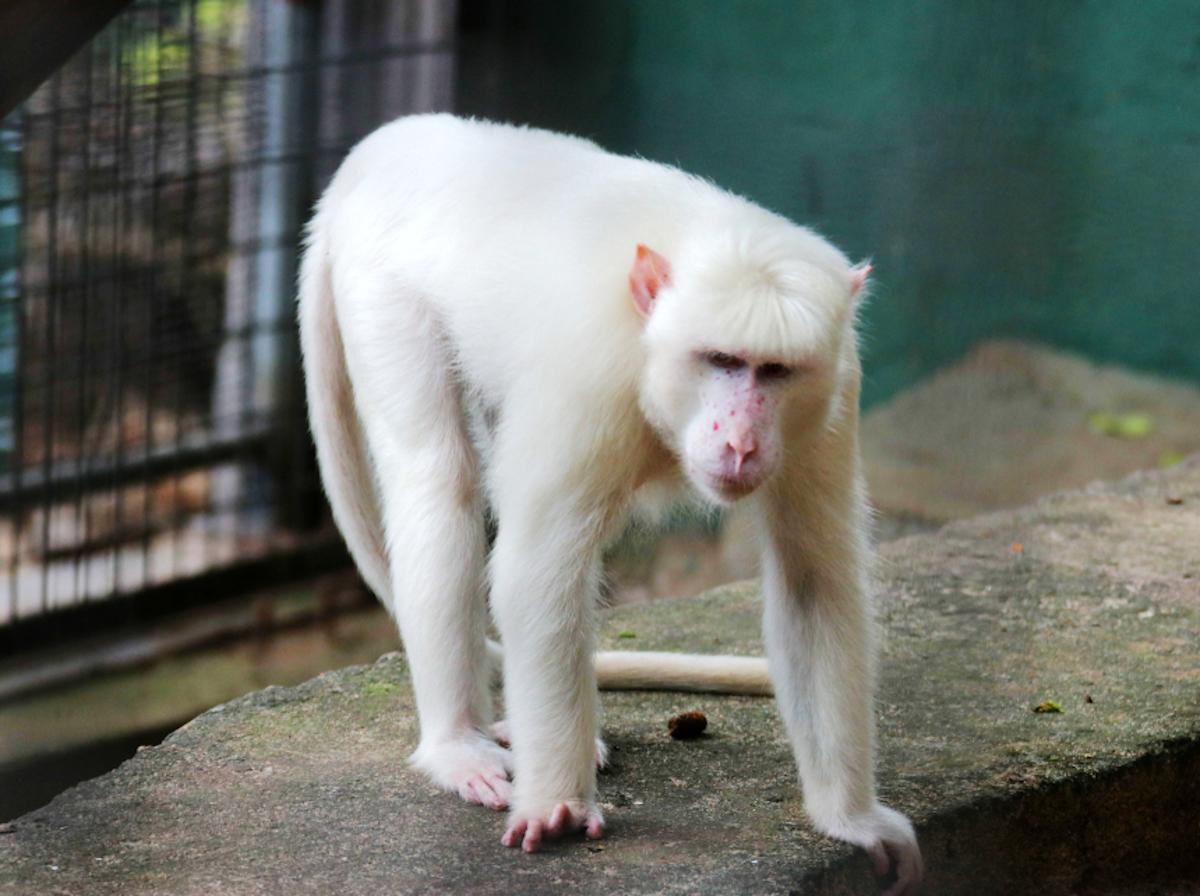 Macaco albino (scimmia bianca)