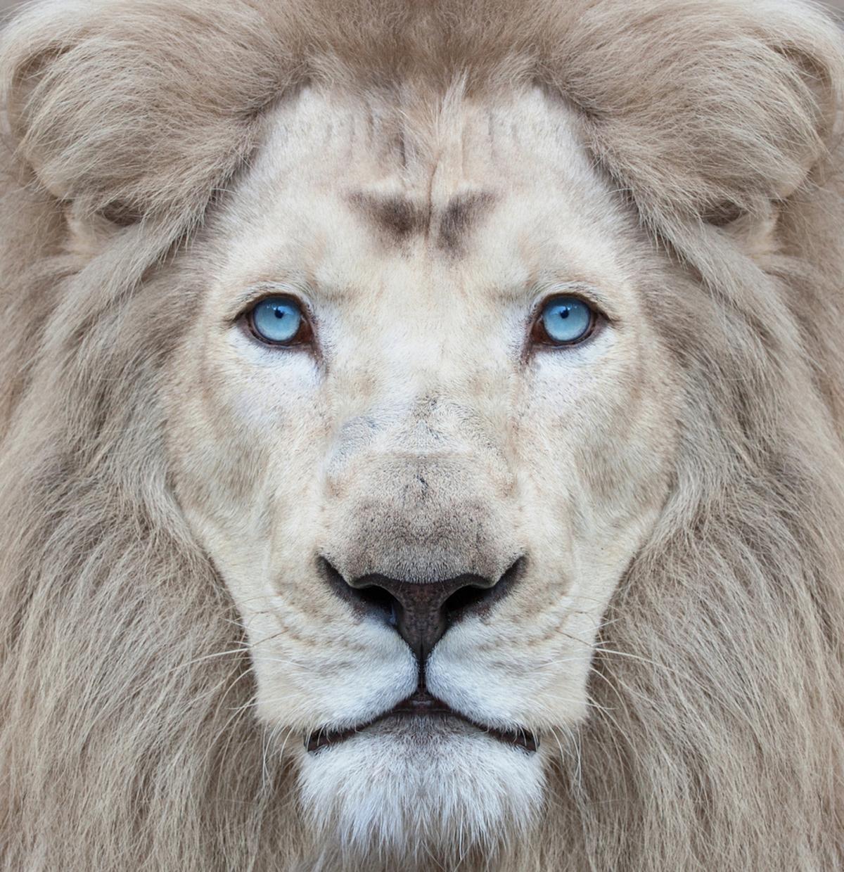 Leone albino