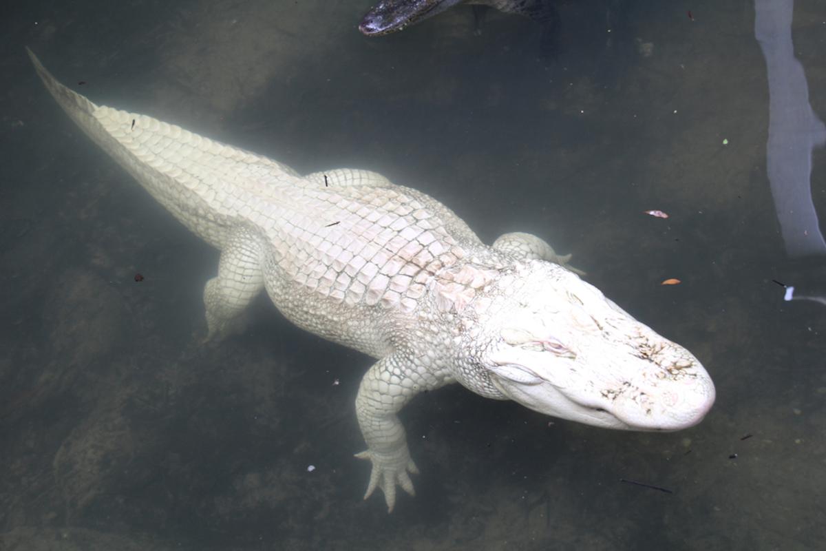 Coccodrillo albino