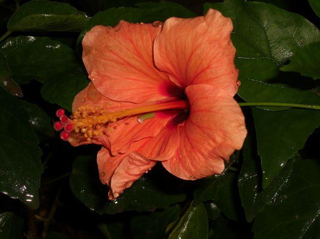 ibisco arancione