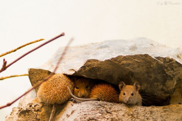 Rimedi naturali contro topi
