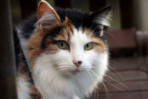 curiosita sui gatti