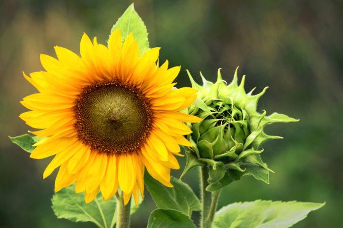 Girasole in vaso: consigli sulla semina e coltivazione in vaso